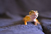 (ryountphotography) Tags: leopardgecko macro color bright reptiles happyreptiles