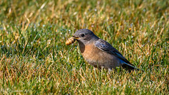 Western Bluebird (f) with worm (Bob Gunderson) Tags: birds bluebirds california cypresslawn northerncalifornia peninsula sanmateocounty sialiamexicana thrushes westernbluebird