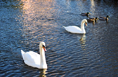 Jan9 (NimajnebGardner) Tags: leeds january swans rain abbey sunny canal winter