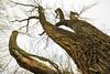 The Way Up (thefisch1) Tags: cottonwood bark texture sky twig kansas crevice rough limb wood interesting linear flint hills oogle nikon nikkkor 1424 mm