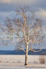 Sunlit ... birch tree (Ken Scott) Tags: littleglenlake birchtree sunlit snow ice white leelanau michigan usa 2017 february winter 45thparallel hdr kenscott kenscottphotography kenscottphotographycom freshwater greatlakes lakemichigan sbdnl sleepingbeardunenationallakeshore voted mostbeautifulplaceinamerica