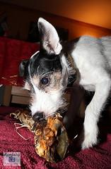 Jack Russel (5) (Enjoy my pixel.... :-)) Tags: dog hund jack russel terrier bone knochen