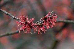 Blüten im Januar bei Minusgraden... (Wallus2010) Tags: zaubernuss januarblüher winterblüher canon eos550d sigma 18250 macro makro universalzoom