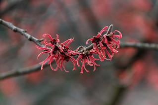 Blüten im Januar bei Minusgraden...