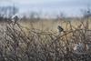 Three Birds (denny.weinmann) Tags: kansas bakerwetlands birds bushes lawrence lfk mefoto nature outdoors sky sonya6000 sonyalpha sonyimages sunset threeinthebush wetlands wildlife
