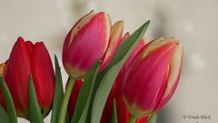 rote Tulpen (Oerliuschi) Tags: tulpen blüten flower tulip