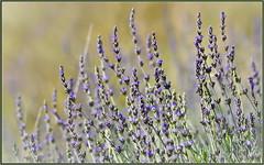 Winter Purple Factor (tdlucas5000) Tags: flowers lavender grasses closeup bokeh creamybokeh wildflowers flower california winter sigma120400