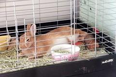 Ichigo san 642 (Ichigo Miyama) Tags: いちごさん。うさぎ rabbit bunny netherlanddwarf brown ichigo ネザーランドドワーフ ペット いちご うさぎ