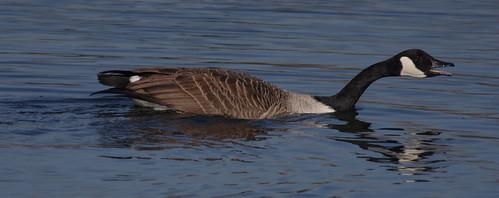 IMGP2267a Canada Goose; Rye Mead, February 2017