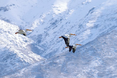 American white pelicans with the Wasatch mountains in the background (rangerbatt) Tags: