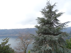 Genzano '17 (faun070) Tags: nemi genzano ceder tree fir pine