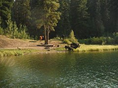 cows in water - Blue Earth Lake  - aug.2015 (6khz) Tags: park blue lake cattle cows earth damage zone provincial ecosystem riparian blueearthlake