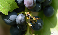 150820 friggH 150820  Ththi ( 3 pics ) (thethi (don't like beta groups)) Tags: macro nature fruit belgium belgique vigne raisin insecte aot namur wallonie gupe setwings setnamurcity faves52 bestof2015