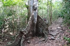 David biting out the Kapok tree (daveynin) Tags: plant tree flora nps trail tropical usvi subtopical deaftalent deafoutsidetalent deafoutdoortalent