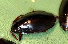Picture53 (illinoisriverwatch) Tags: adult beetle whirligig gyrinidae