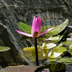 Water Lily with dragonfly (topendsteve) Tags: macro water garden japanese lily 28 90mm a7rii