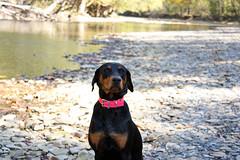 IMG_2789fixed (BenedekToth) Tags: park dog canon rebel cleveland hound kutya xsi metroparks transylvanianhound erdélyikopó erdelyikopo