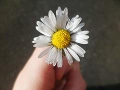FB_IMG_1445275505830 (Nicolaspeakssometimes) Tags: flower daisy