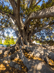 Santa Barbara's Moreton Bay Fig Tree (melastmohican) Tags: california park santa old city travel plant tree green tourism nature santabarbara forest garden botanical outdoors bay us flora rainforest unitedstates fig path famous roots large ground nobody landmark historic system chain ficus growth barbara huge trunk barrier register aggressive canopy gigantic botany banyan largest spreading moreton macrophylla