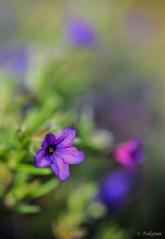 Purple Sisterhood (Nakonae) Tags: plant flower macro planta bokeh flor blurr sisterhood macrophotography macrofotografa hermandad sooc tokina90 nakonae tokina90mm25atxmacro