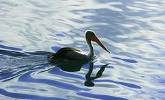 Gliding (rachFNQ) Tags: lake water birds north pelican queensland gliding far athertontablelands lakeeacham