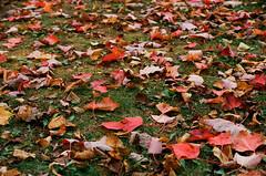 Fall carpeting (pabs35) Tags: fall film grass leaves 35mm fallcolor pentax kodak michigan upperpeninsula pentaxmesuper mesuper ektar ektar100
