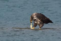 Fishtail snack (Adam Wang) Tags: bird river fishing harrison eagle wildlife baldeagle raptor fraser tear