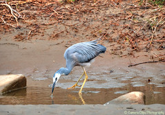 White-faced heron drink (Julies Camera) Tags: heron whitefacedheron whitefaced nzbirds ptx nzheron