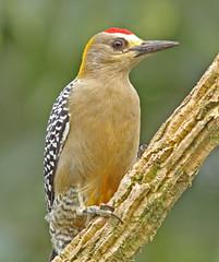 Hoffman's Woodpecker (Mandy West) Tags: costarica hoffmanswoodpecker