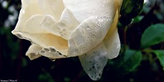 Rose blanche (Noemie.C Photo) Tags: morning naturaleza white plant flower macro nature fleur leaves rain rose yellow jaune plante garden droplets drops december details jardin pluie vegetable vegetation blanche dimanche raindrop feuilles ros matin decembre gouttes specifics gouttelettes