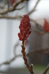 Sumac (Wanna Be Creative) Tags: red nature washington pretty branch walk lacey pussywillow pleaseidentify