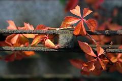 Entangled (derNubo) Tags: autumn sunlight berlin leaves fence kreuzberg germany europe tendril churchyard cirrus entangled bergmannstrasse