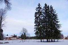 Snowy Pine Trees (sarowen) Tags: winter snow pinetree germany deutschland bavaria snowy walk evergreen wintertime pinetrees schwangaugermany scwangau walkfussenscwangau walkfussenschwangau