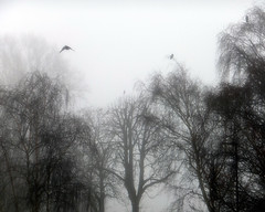Foggy crows. (karl from perivale) Tags: birds bird crows trees fog mist outdoor ealingcentralsportsground medwayvillage perivale greenford ealing london uk gb winter