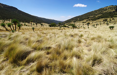Day 3: From Imet Gogo to Inatye (Gregor  Samsa) Tags: ethiopia africa eastafrica autumn november rural grass meadow sun sunlight light afternoon hike hiking walk walking trek trekking track tracking backpacking wandering journey trip exploration adventure outdoor outdoors tree trees view vista overlook viewpoint scenery scenic scenics tranquil tranquility simien semien simiens semiens nationalpark simienmountains semienmountains mountains abbys abyss escarpment