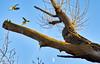 Parakeet Squabbles (paulinuk99999 - tripods are for wimps :)) Tags: paulinuk99999 roseringed parakeet london river thames green bird wildlife psittaculakrameri sal70400g