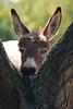Buffa Simpatia (DADAEOS) Tags: asino ritratto natura animali canon eos5dmarkii orecchie simpatia