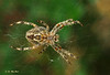 The Spider - Vancouver, British Columbia (Barra1man) Tags: nature wildlife macro bokeh fall green brown thespider hedges web predator olympus olympuse620 lens50mm iso400 f501100 vancouver britishcolumbia canada