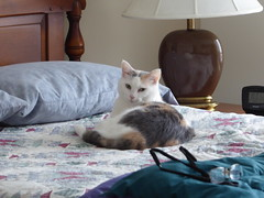 Wheaton, IL, Courthouse Square Apartments, My New Cat, Keke (Mary Warren (7.8+ Million Views)) Tags: wheatonil courthousesquareapartments bedroom nature fauna animal mammal feline cat calico pet keke