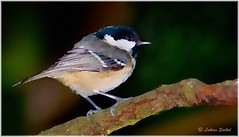 Coal Tit (lukiassaikul) Tags: creativephotography photopainting digitalpainting nature fauna animals wildanimals wildbirds coaltit