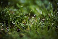 Rugiada (Rcri) Tags: rugiada dew grass erba green verde nature natura