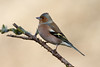 _F0A8407.jpg (Kico Lopez) Tags: fringillacoelebs galicia lugo miño pinzóncomún spain aves birds rio