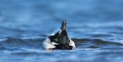 Goldeneye Courtship Display (Chantal Jacques Photography) Tags: bokeh wildandfree commongoldeneye depthoffield duck matingdance matingritual headthrowkick duckcourtshipdisplays