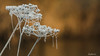 Frozen Cobwebs (Safarii) Tags: nature frozen seeds river winter shropshire shrewsbury severn riversevern plant plants cobweb ice cold walk bokeh