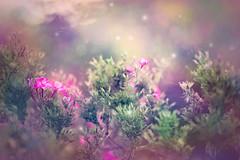 Enchanted (Elizabeth_211) Tags: flowers garden closeup pink purple 135mm bokeh nature