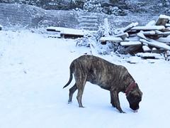 IMG_8050 (glaukos) Tags: englishmastiff dog