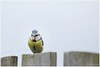 etend pimpelmeesje (HP012235) (Hetwie) Tags: bird thuis vogel meesje dog pimpelmeesje eten helmond noordbrabant nederland