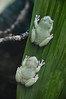 Australian Tree Frog (Litoria caerulea) (Seventh Heaven Photography) Tags: australian tree frog litoria caerulea green