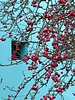 Red berries on a blue wall (explored) (oh.suzannah) Tags: berries red