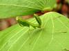 071 Praying Mantis - Common Green Mantid - Nymph (Magic Moments by Pippa) Tags: southafrica kruger nature wildlife nikon p900 insects macro closeup praying mantis green mantid